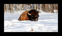 Wood Bison - Bison athabascae