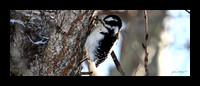 Downy Woodpecker - Picoides pubescens / Elk Island National Park